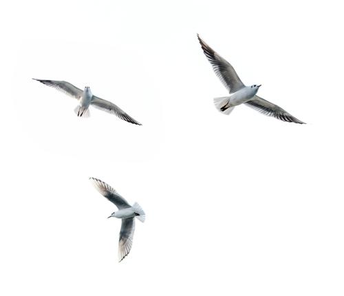 Saegulls fliegen bei dev5310 vor der Haustüre vorbei